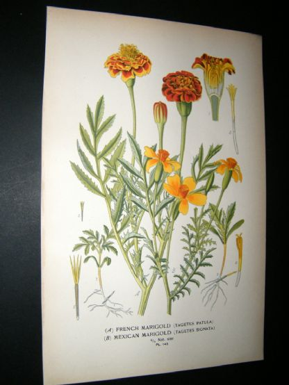 Step 1897 Antique Botanical Print. French & Mexican Marigold | Albion Prints